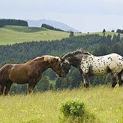 pferde-im-einklang-mit-der-natur