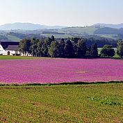 Mohnfeld © Tourismusverband Sierning