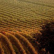 Weingaerten im Herbst NTG/steve.haider.com