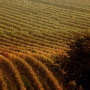 © NTG Steve Haider - Wingaerten im Herbst